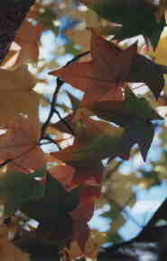 Leaves; Actual size=130 pixels wide