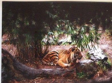 Tiger:  Melbourne Zoo; Actual size=240 pixels wide