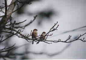 2 Birds; Actual size=130 pixels wide