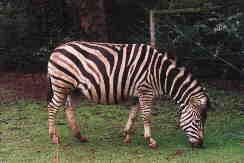 Zebra; Actual size=130 pixels wide
